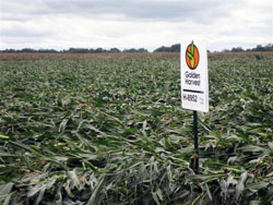 Corn Down From Hurricane Ike