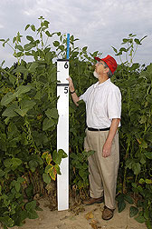 Giant Soybeans